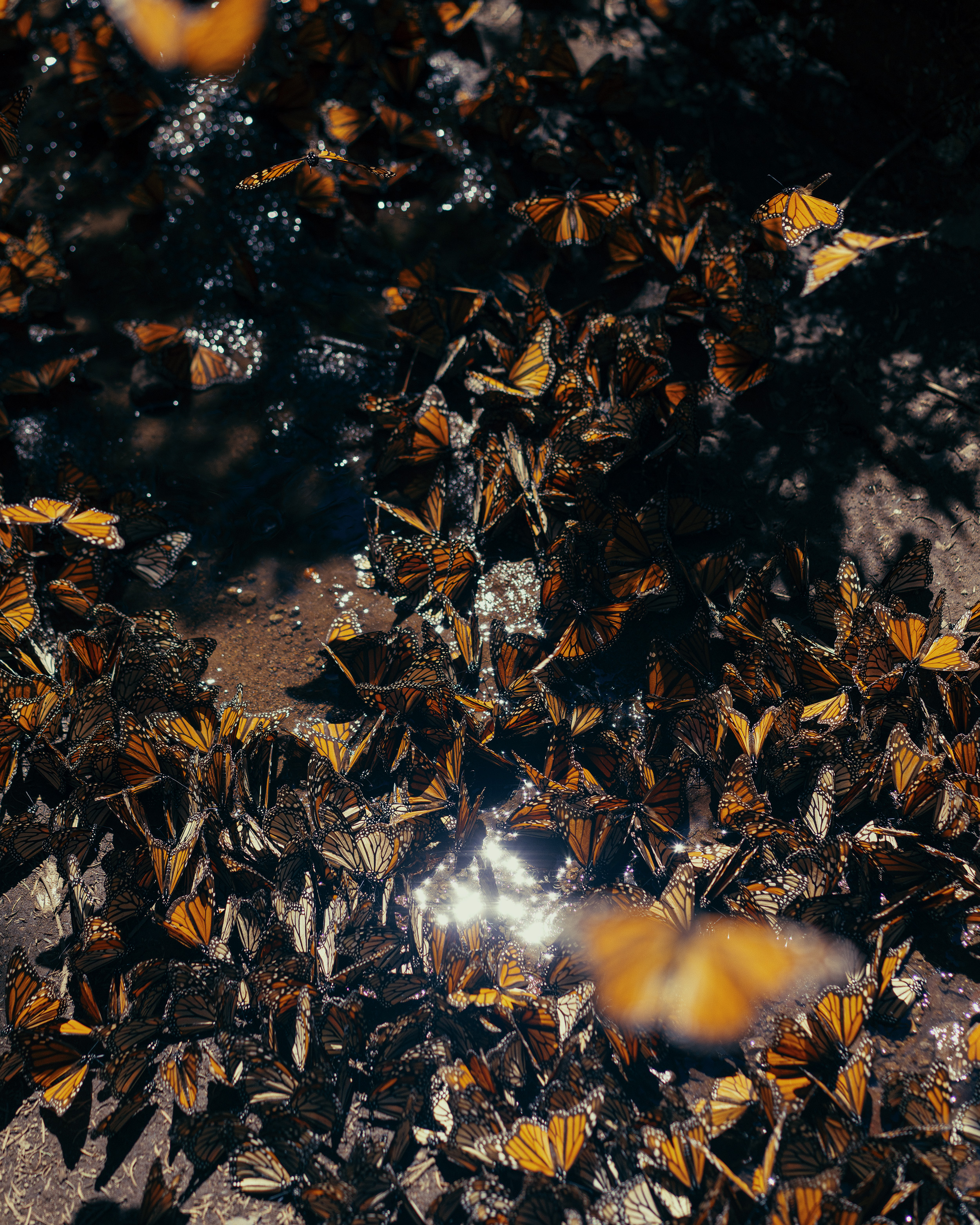 Hundreds of monarch butterflies gather together.