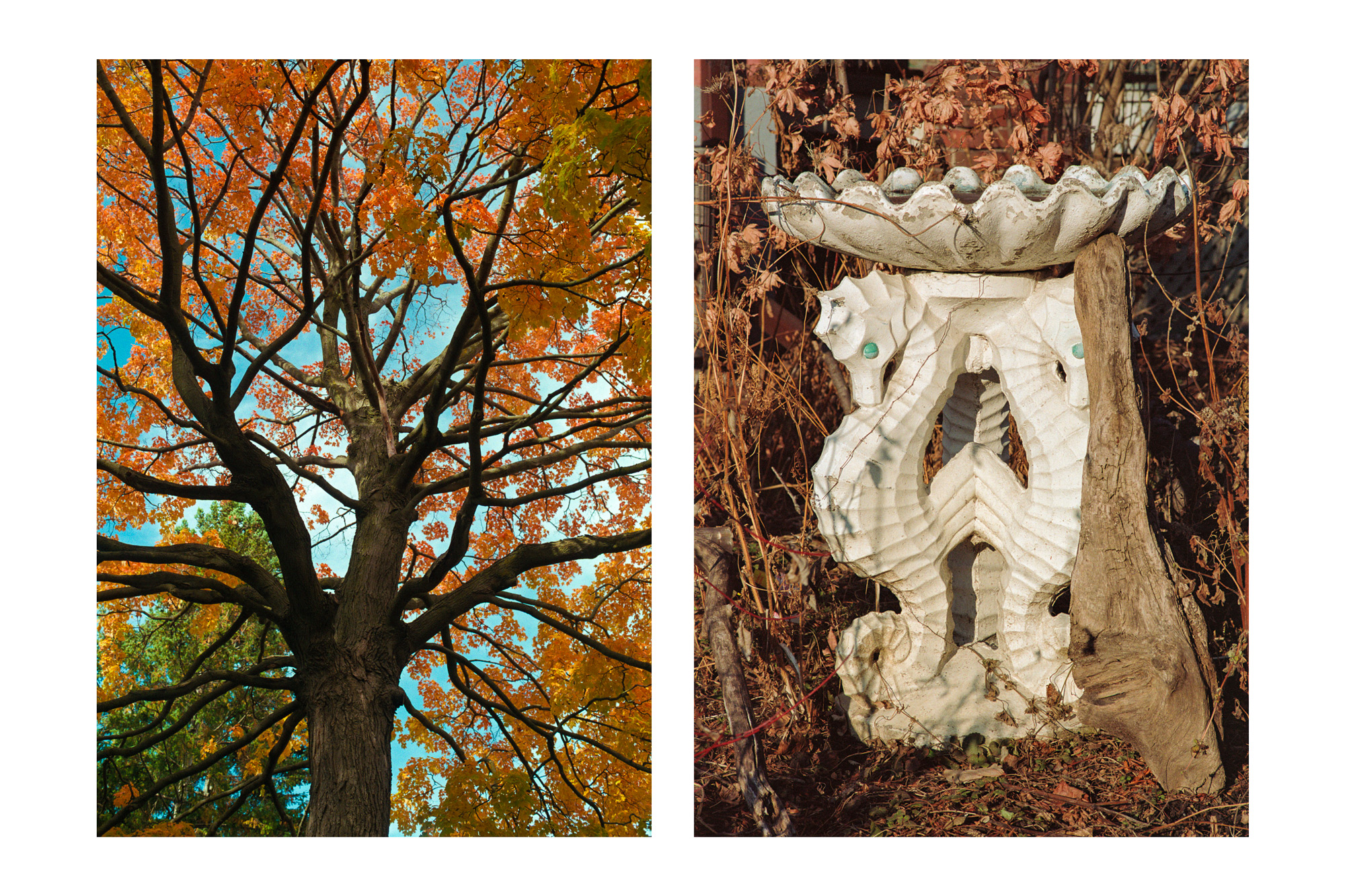 A pair of images, looking up at fall foliage and a bird bath in an overgrown yard.