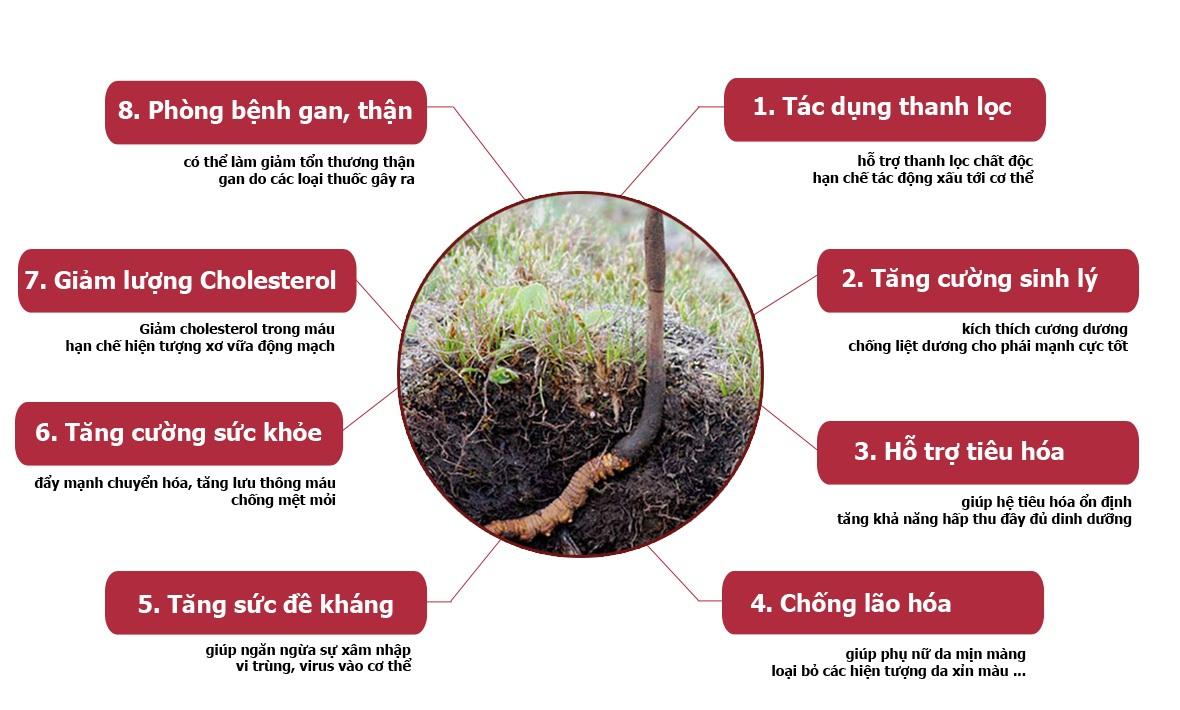 Các công dụng của đông trùng hạ thảo được truyền lại từ xa xưa