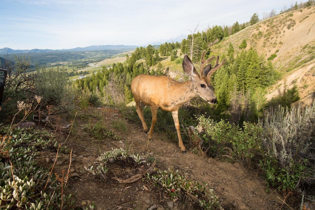 a mule deer walking in a heavily forested mountain range near grand teton