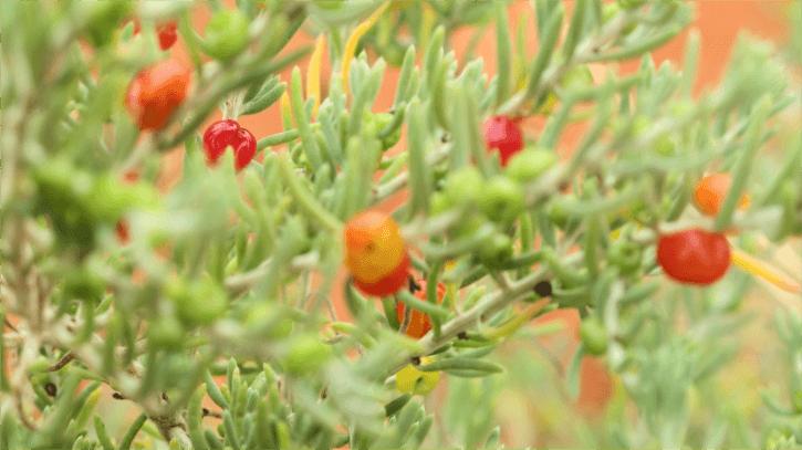 A photo of a Bush tomato