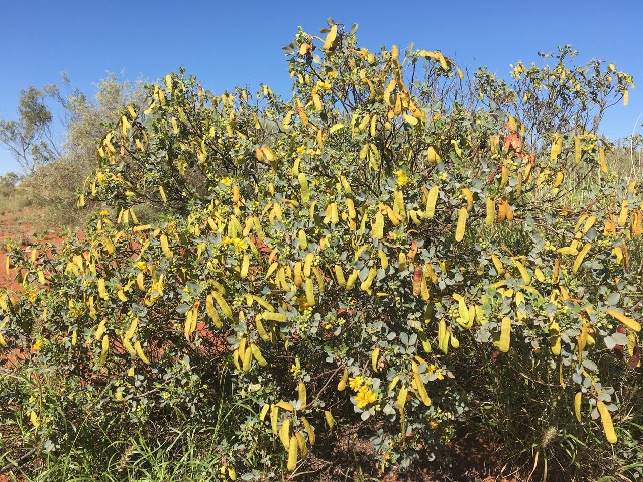 a photo of an Alyawarran bush plants