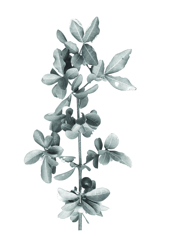 Cereza criolla