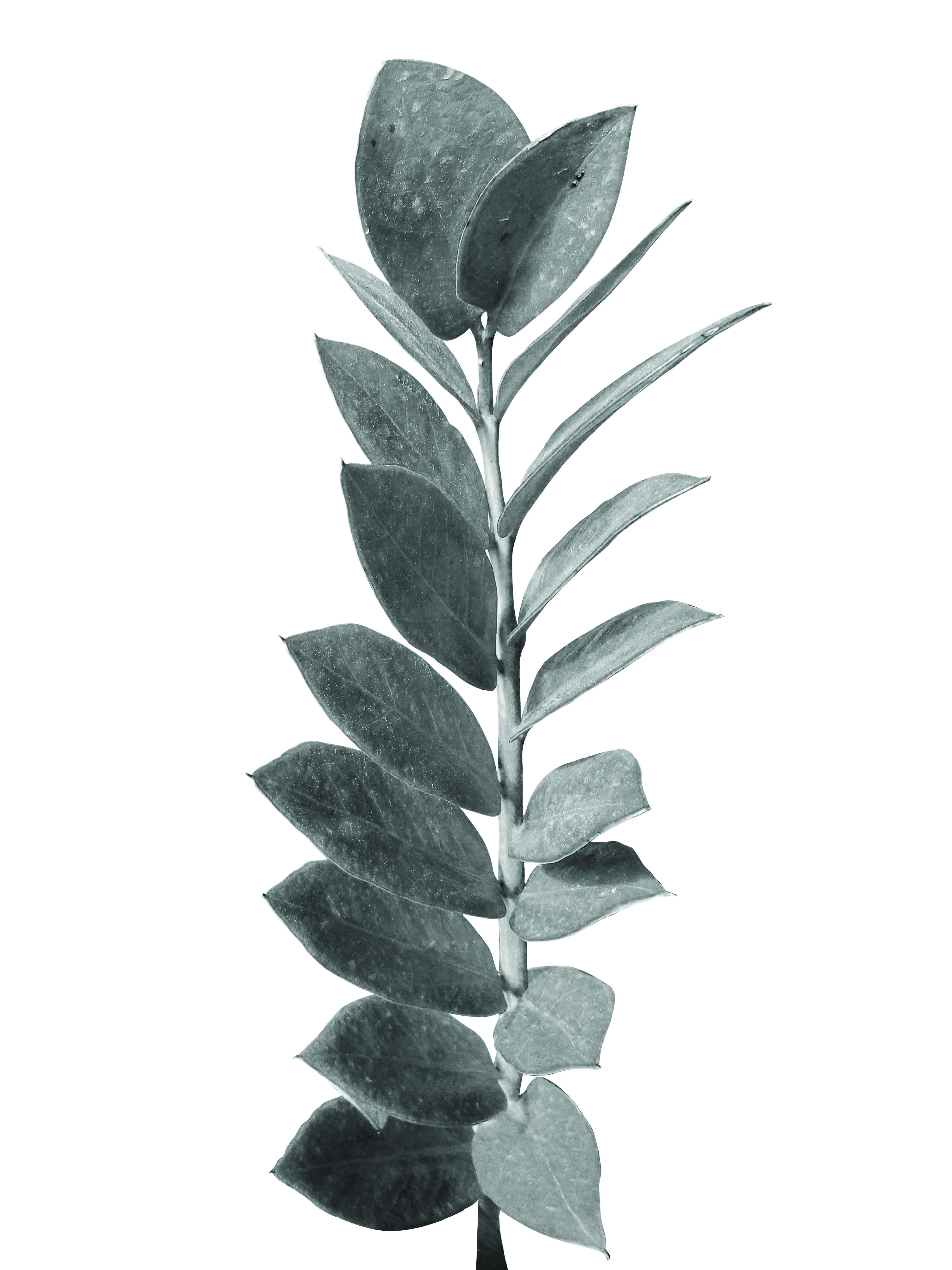 Planta de La Fortuna