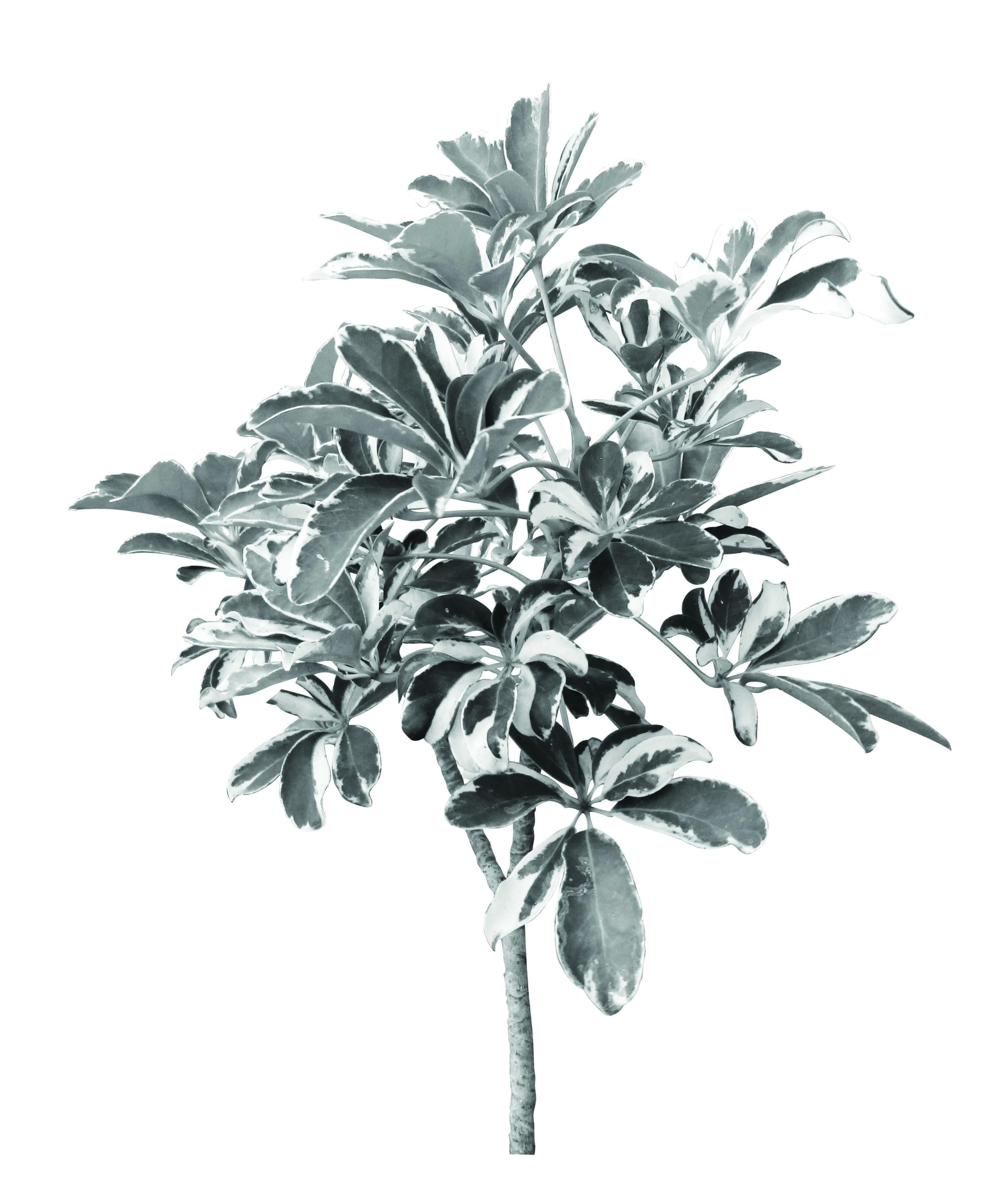 Sheflera variegada