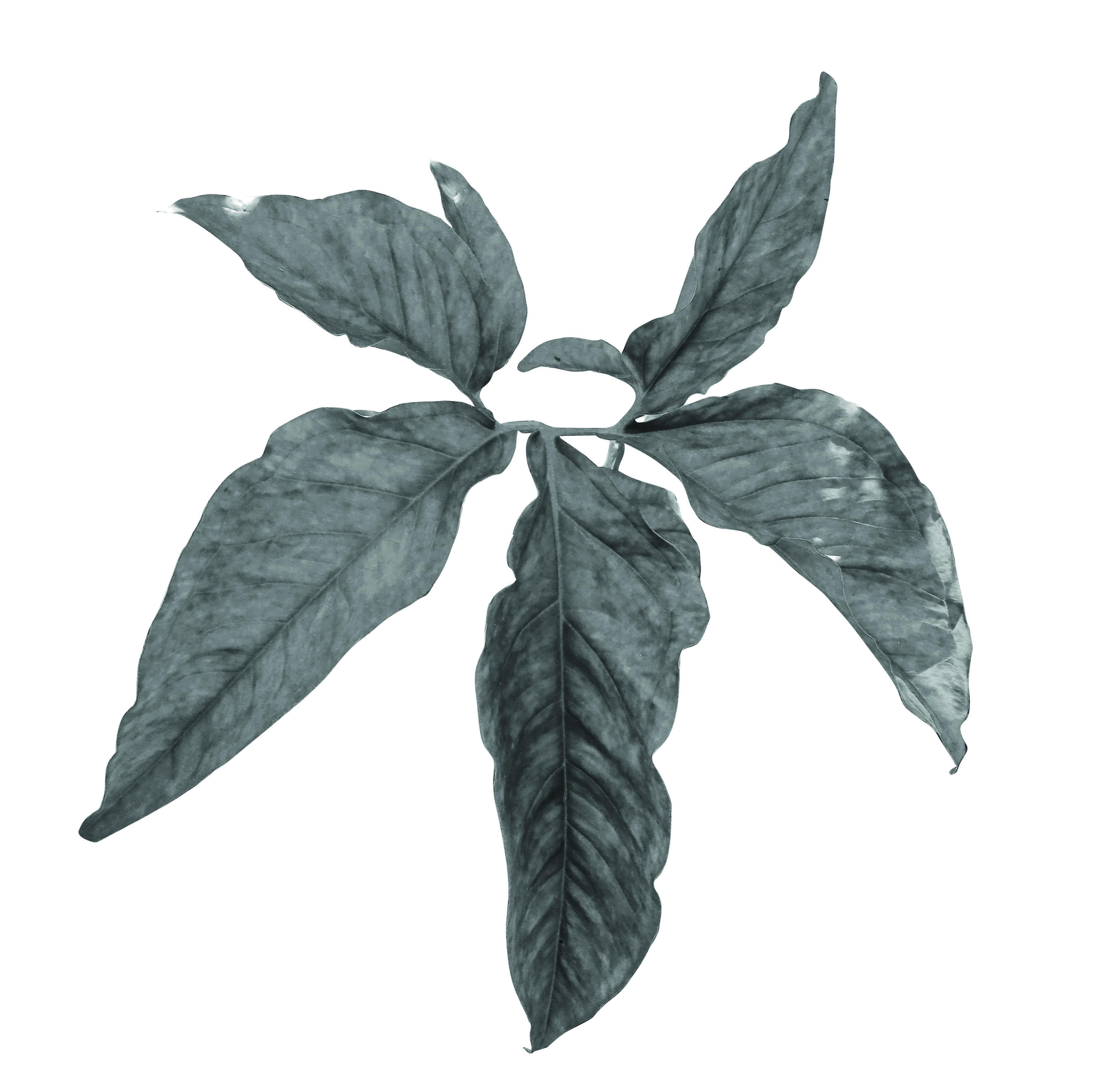 Singonio verde