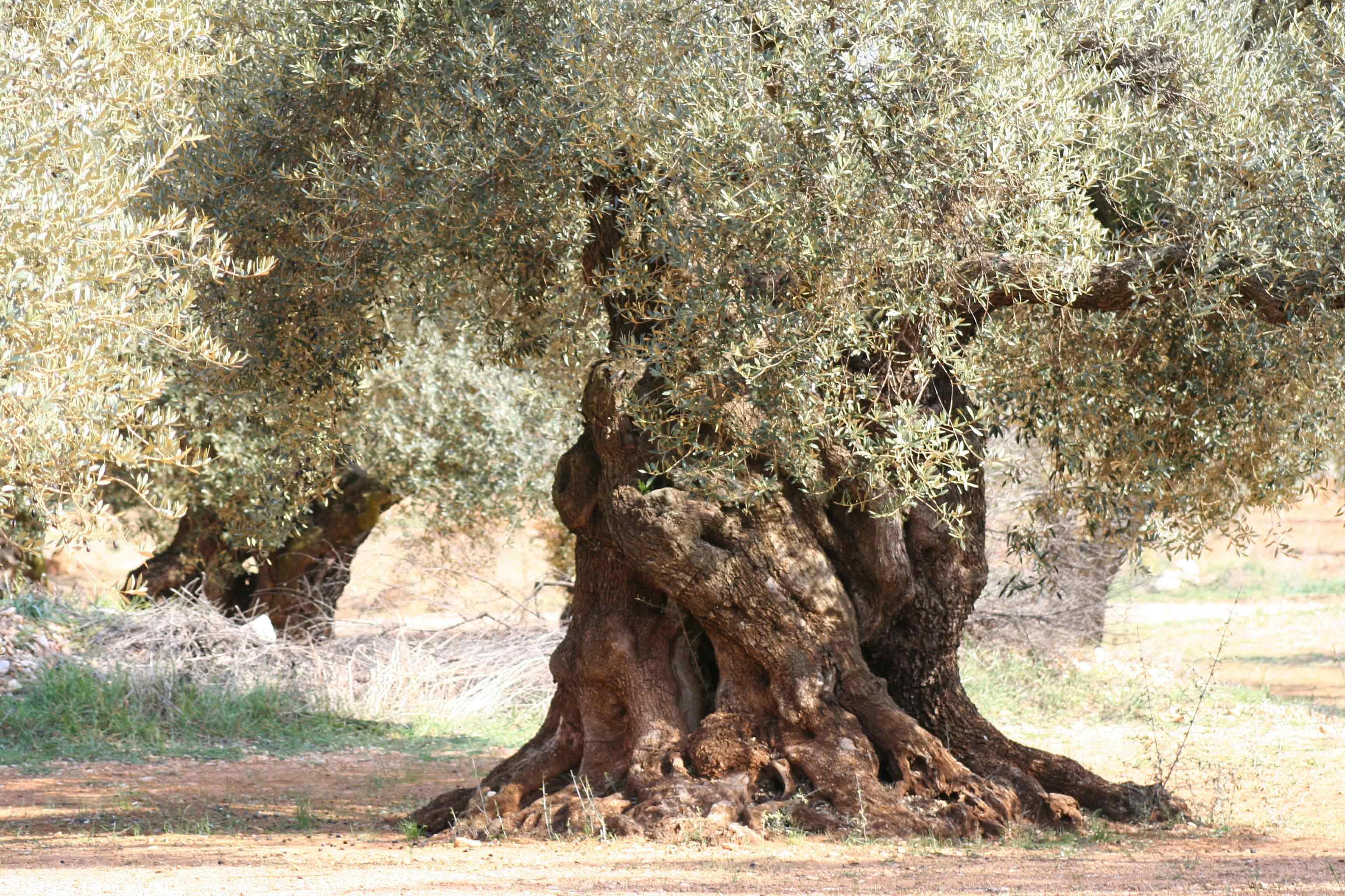 Aceite de olivo milenario