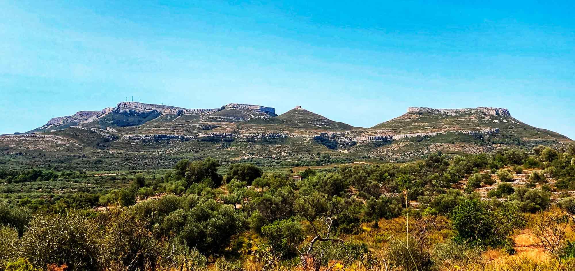 Millennia-old olive trees