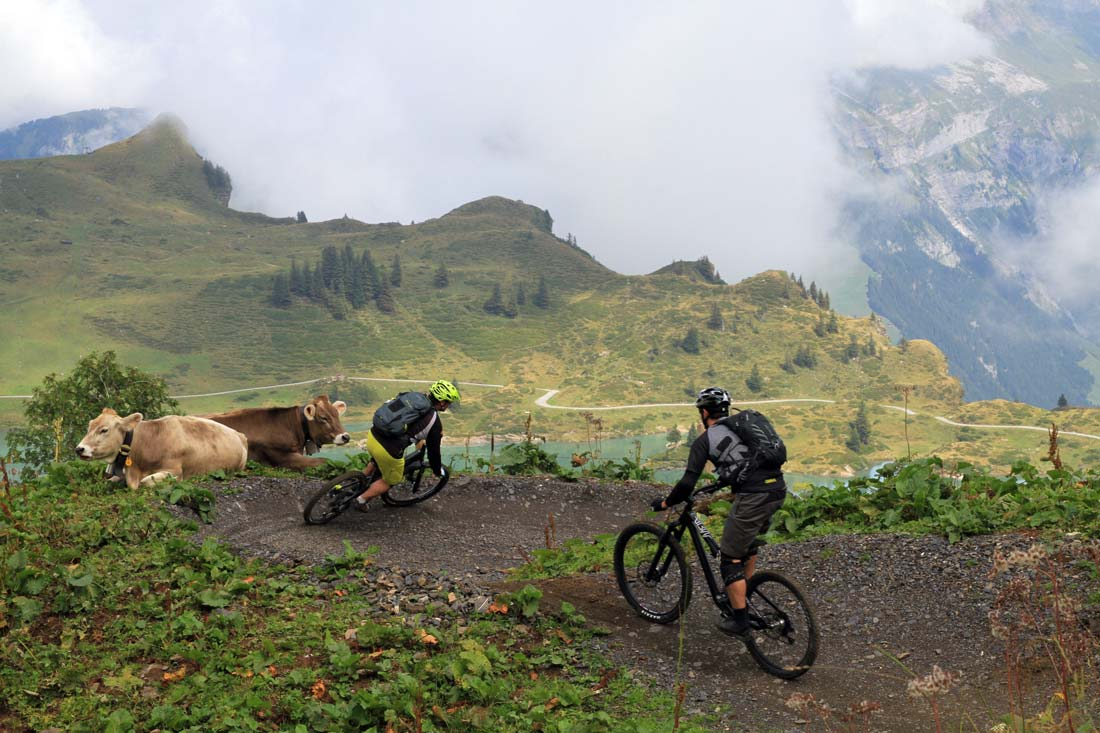 Mountain biking among cows is a typical scene in Engelberg, Switzerland