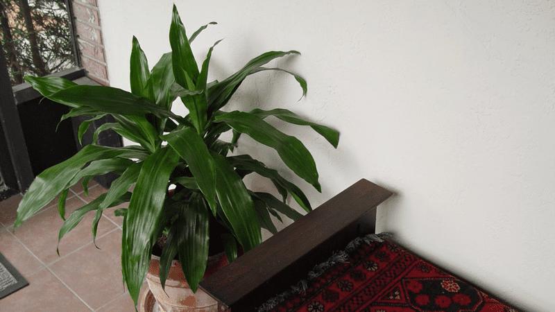 La Dracena migliora la qualità dell'aria negli interni