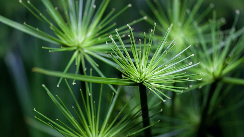 Il cyperus migliora la qualità dell'aria negli interni