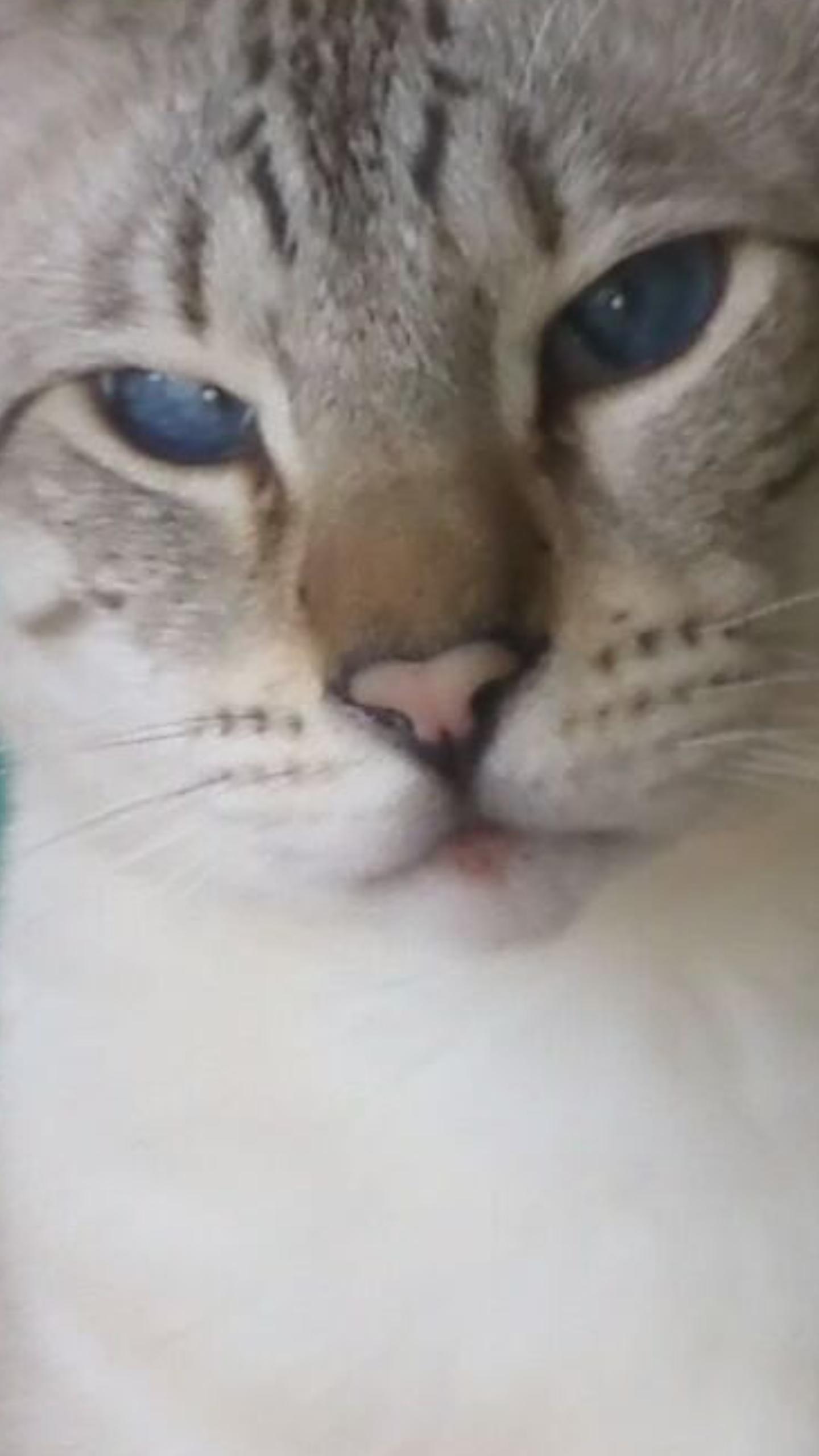 Liebe Blaue Augen Katze