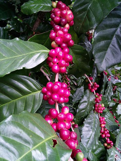 Guatemalas Coffee Farm produces mature coffee beans.