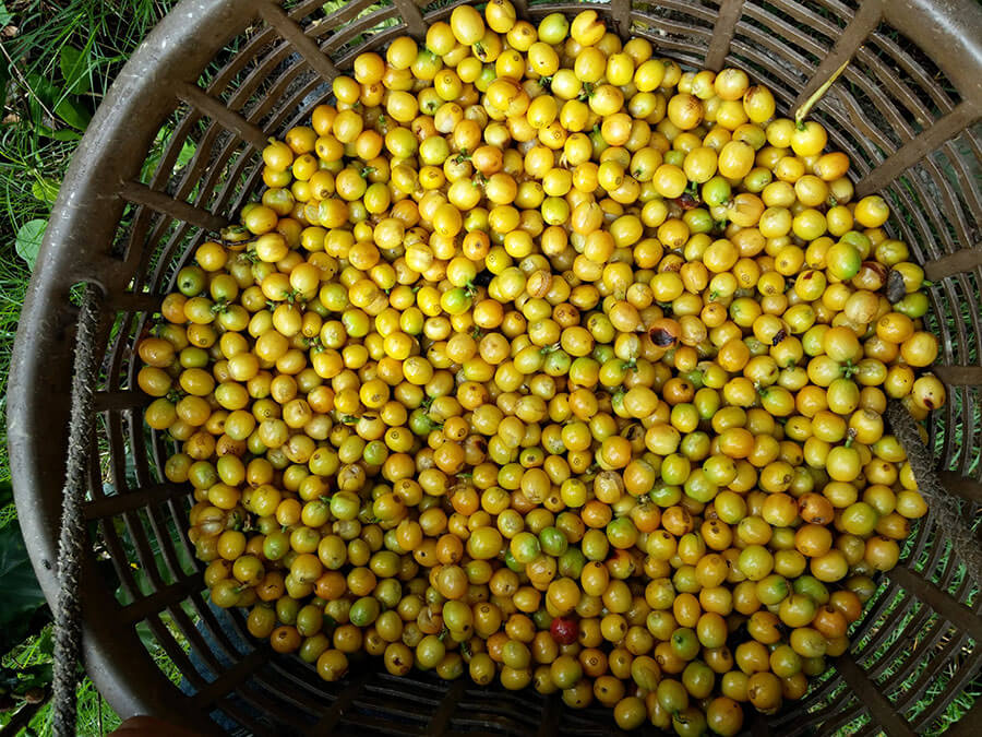 A rare variety of Yellow Borbon Coffee, which matures into a yellow color instead of the traditional dark red color. Also recognized for its excelente qualities in the cup.