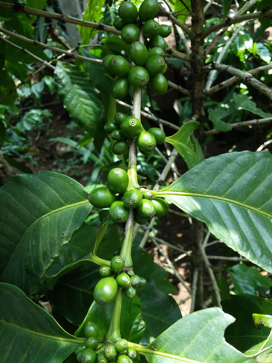 Coffee Beans that are almost fully grown but not yet matured for harvest.