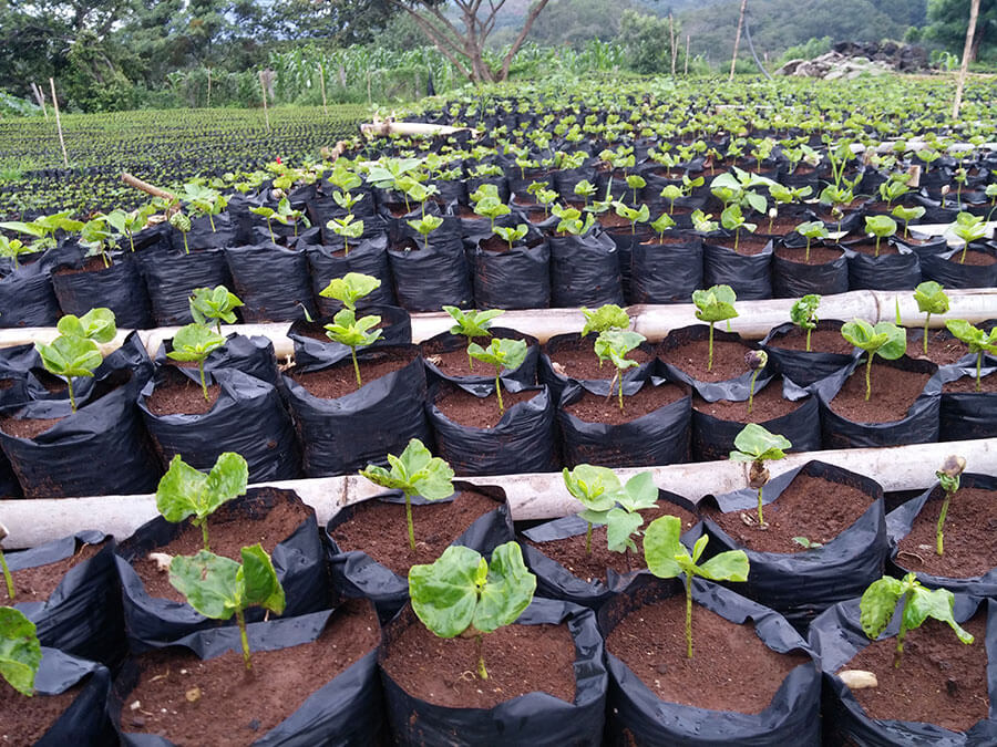 Coffee Saplings about 2 months old.