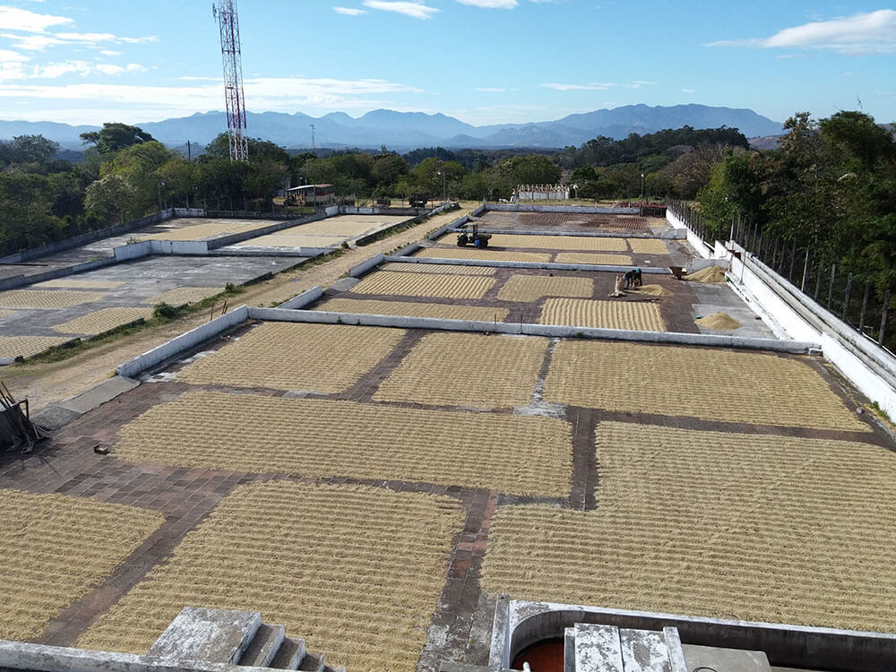 Young plants ready for harvest at Guatemalas Coffee Farm.