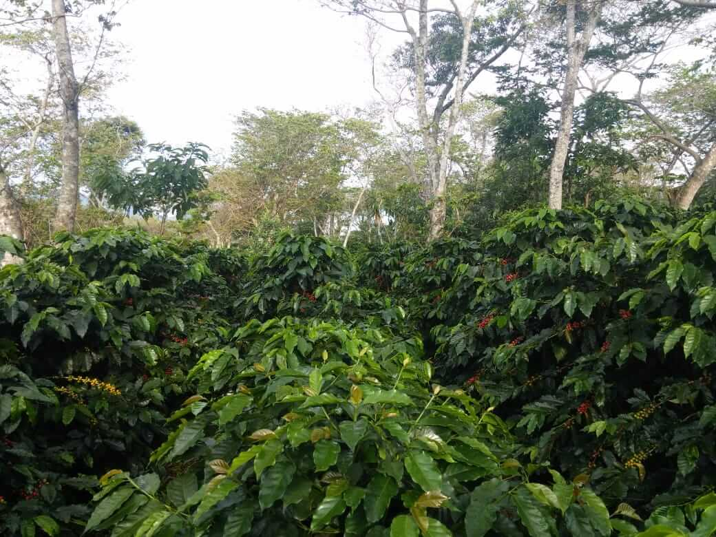 Mature coffee trees planted in rows, nestled among shade trees.