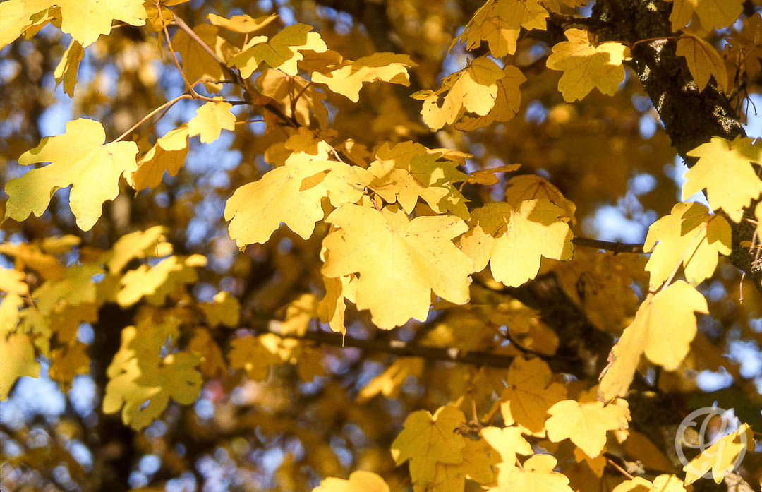 Metro Gold Maple Tree