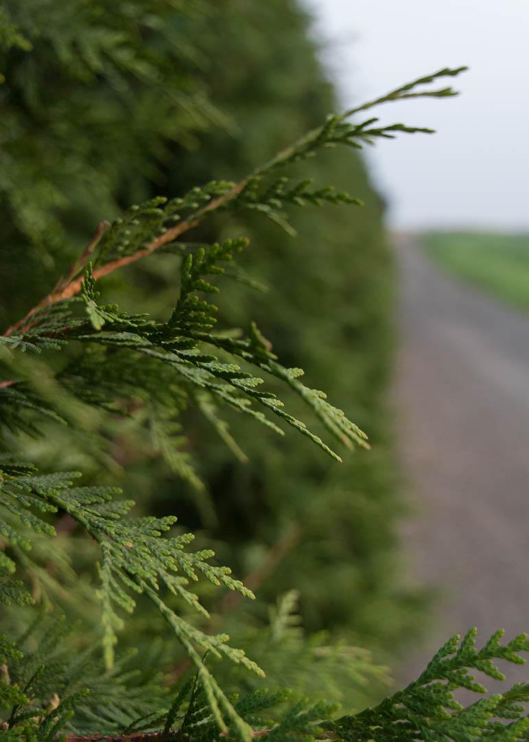 Green Giant Arborvitae Tree