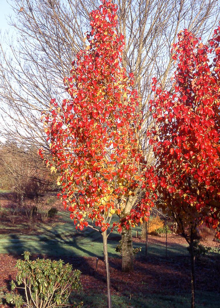 Capital Pear Tree
