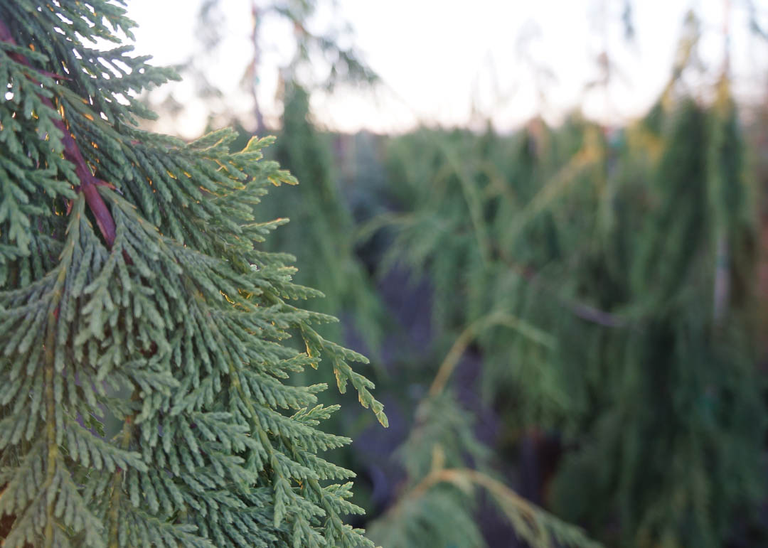 Stricta Weeping Alaskan Cedar Tree