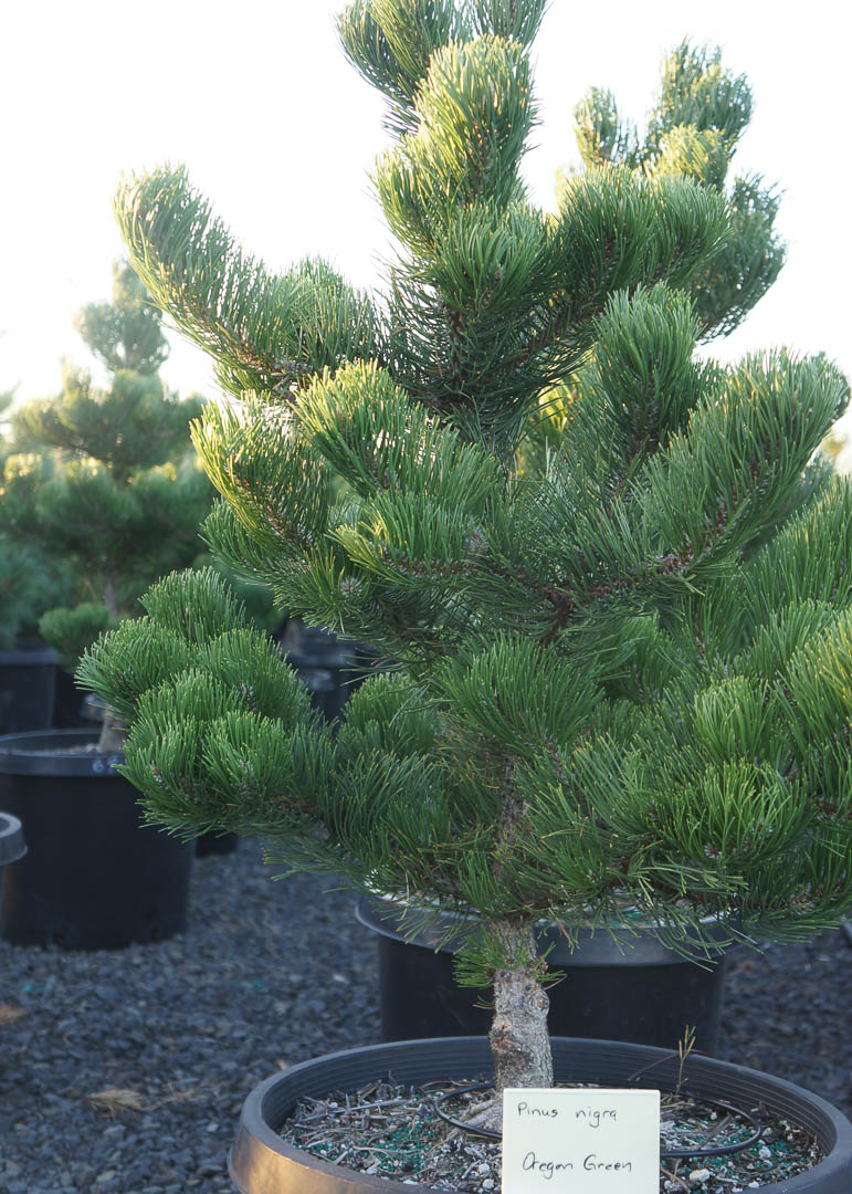 Oregon Green Austrian Pine Tree