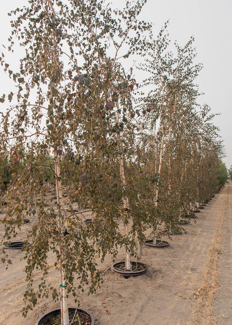 Royal Frost Birch Tree