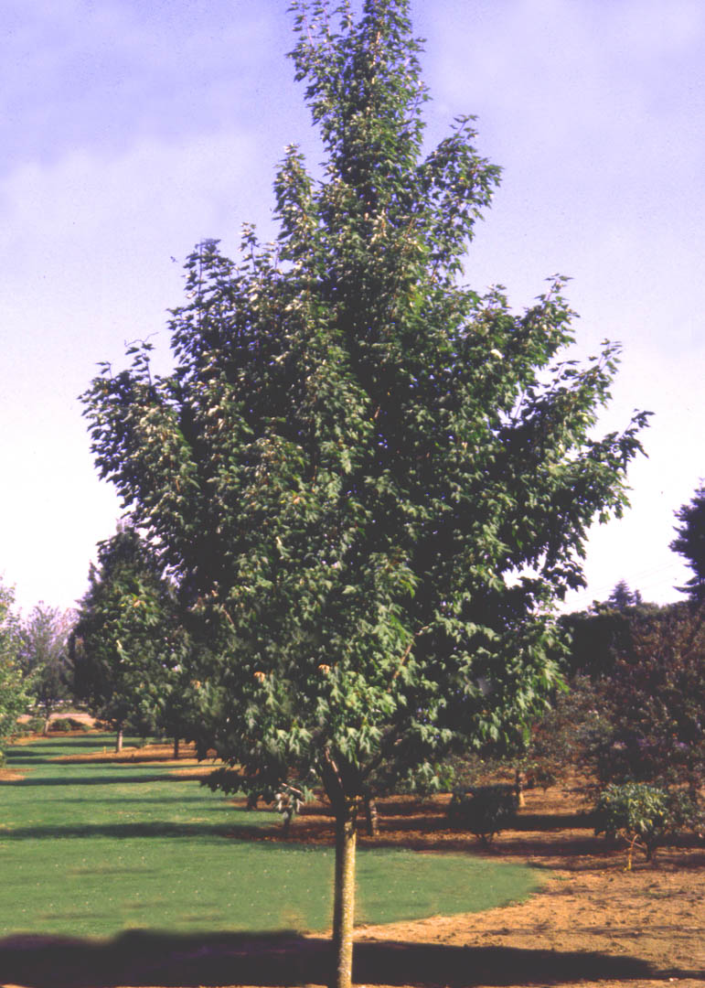 Celebration® Maple Tree