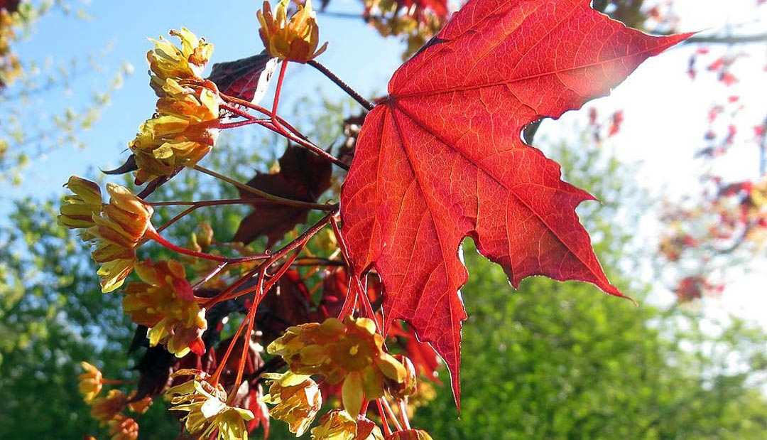 Lay Down The Red Carpet For The Royal Red Norway Maple Tree