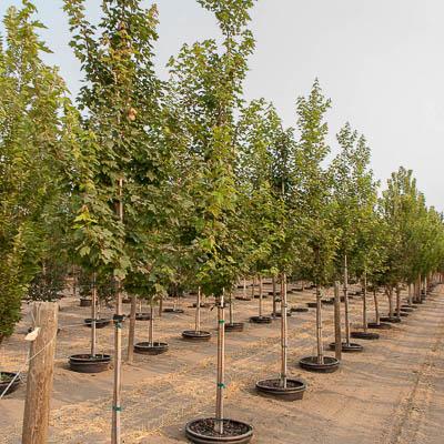 Somerset Red Maple Tree