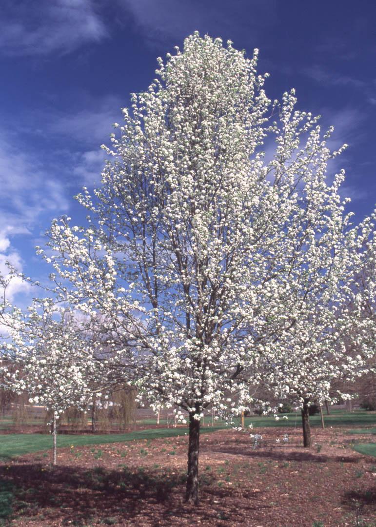 Trinity Pear Tree