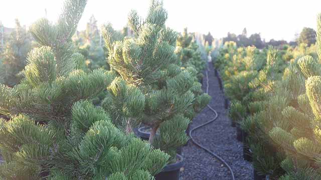 Experience Joyous Evergreen Lush with the Oregon Green Austrian Pine