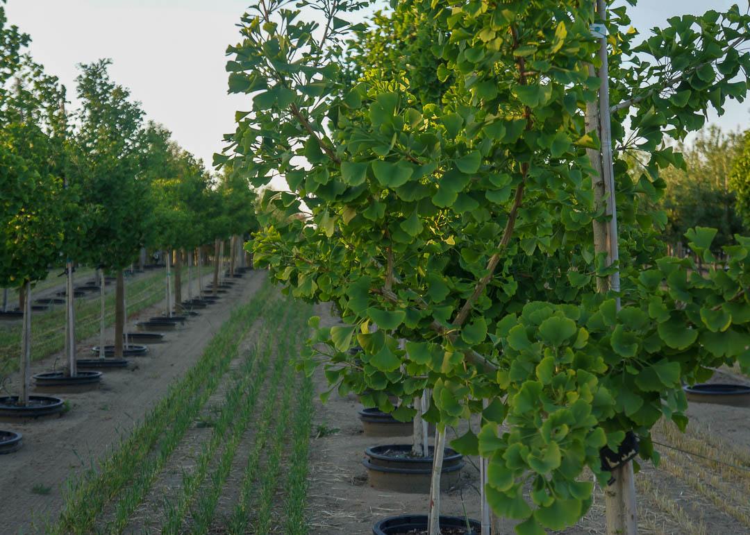 Princeton Sentry® Ginkgo Tree