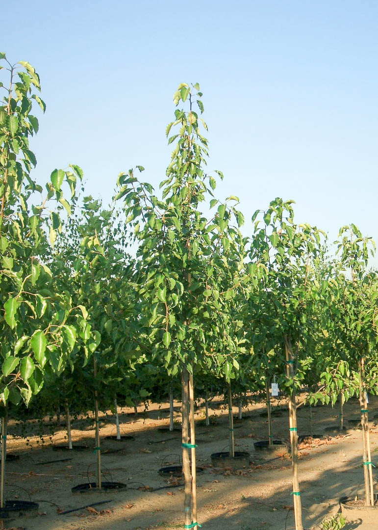 Aristocrat Pear Tree