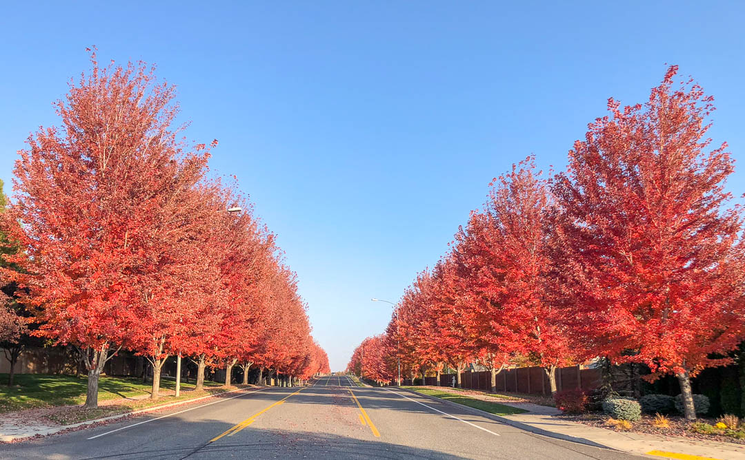 Red Sunset® Maple Tree