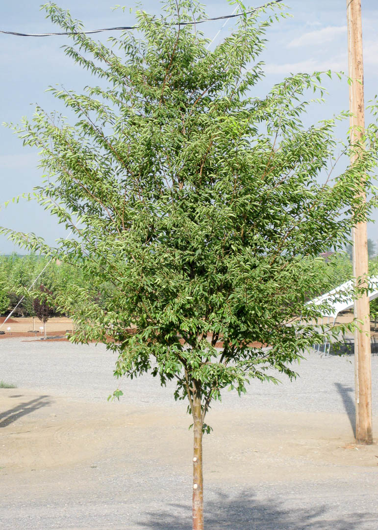 Green Vase® Zelkova Tree