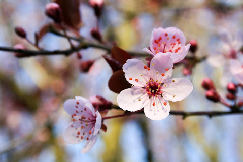 Flowering Plum Trees That Are Sure To Delight