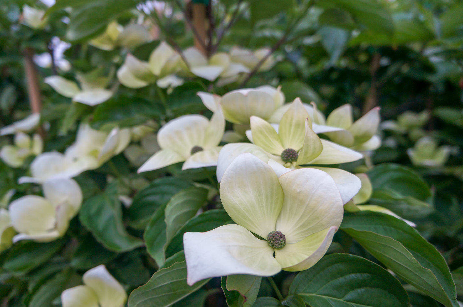 Eddies White Wonder Dogwood