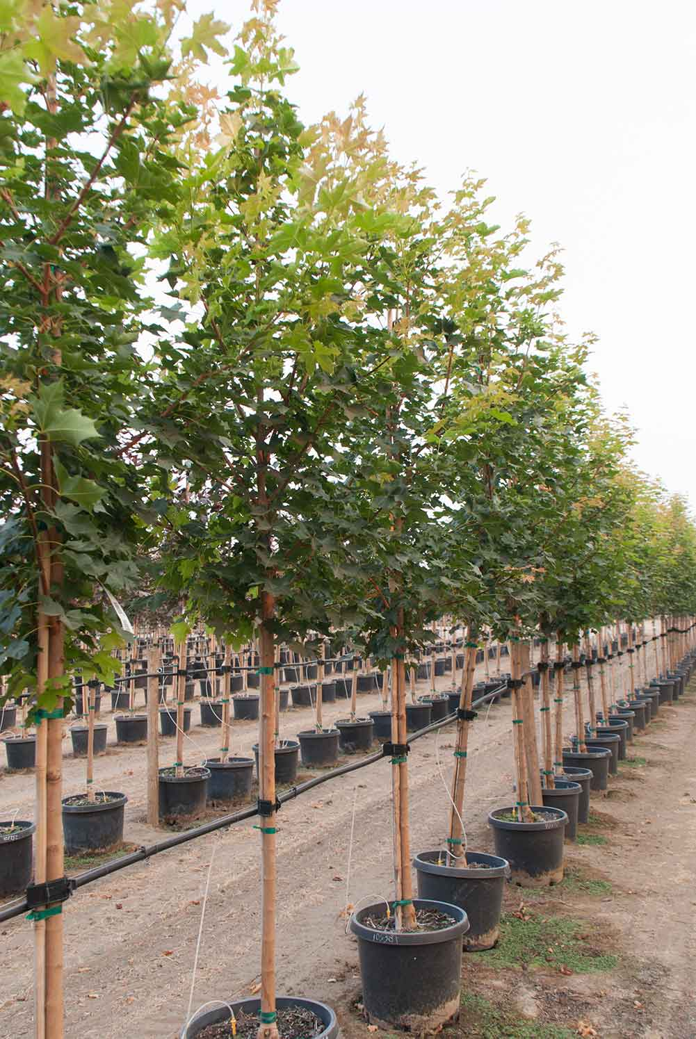 Pacific Sunset Maple Trees at Garden Gate Nursery.