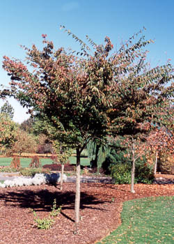 Wireless® Zelkova Tree
