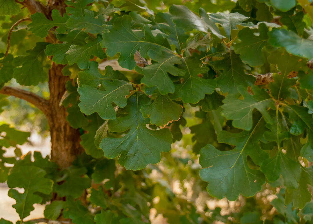 Bur Oak Leaves in Summer Time.