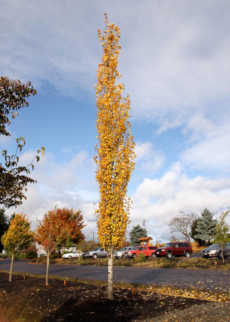 Mountain Sentinel Aspen Tree