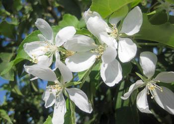 Spring Snow Flowering Crabapple Tree
