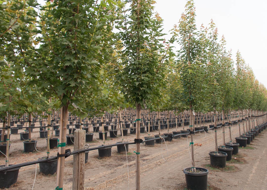 Armstrong Gold® Maple Tree
