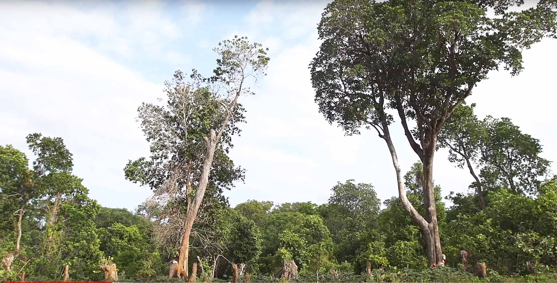 Cut Trees on Kokota Island