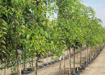 Green Vase® Zelkova Tree