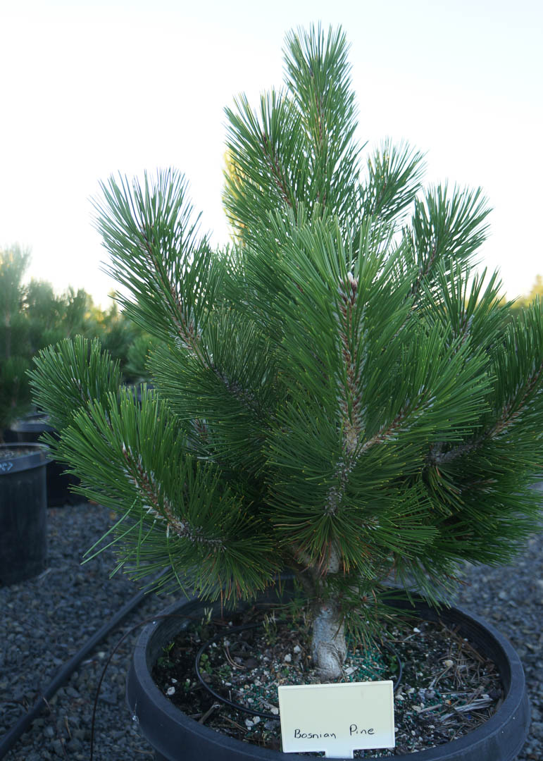 Bosnian Pine Tree