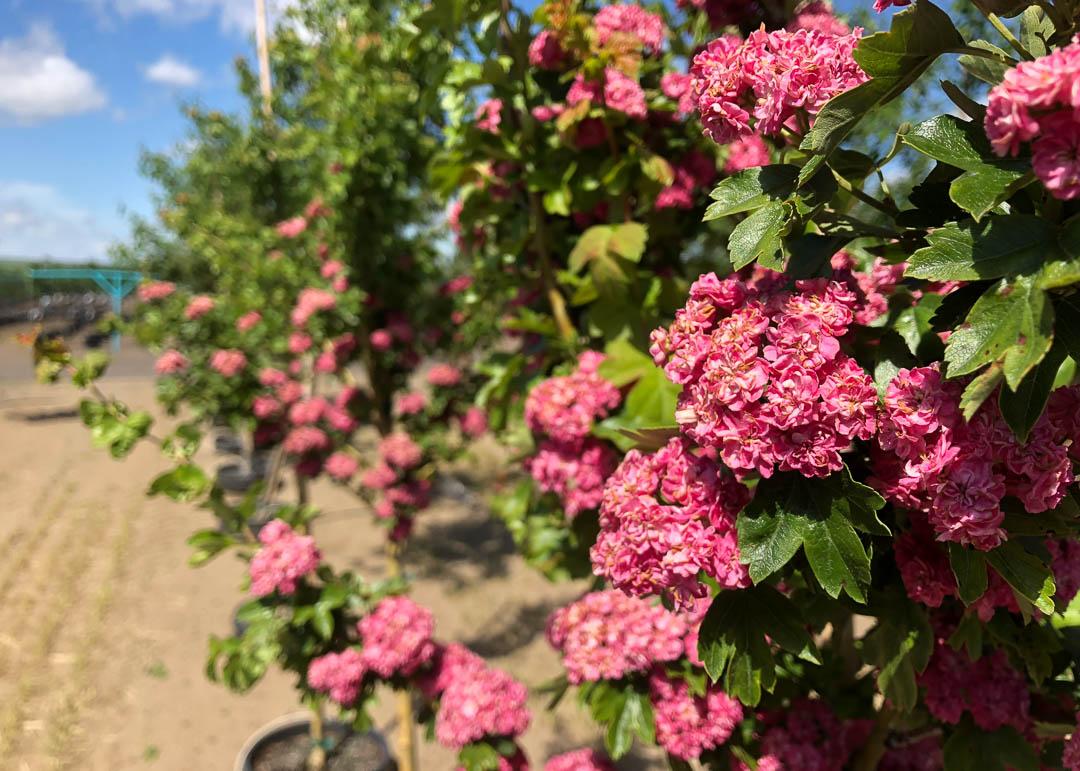 Paul's Scarlet Hawthorn Tree