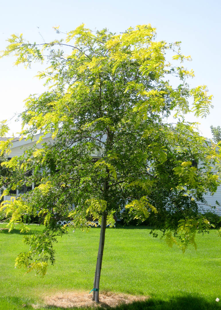 Sunburst® Honeylocust